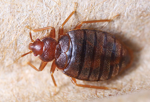 bed bug close up for identification
