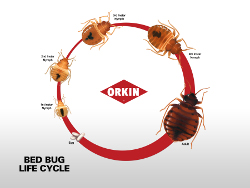 bed bug life cycle infographic