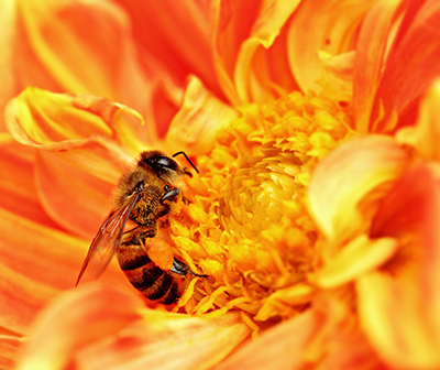 africanized honey bee image