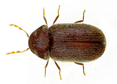 Drugstore Beetle picture