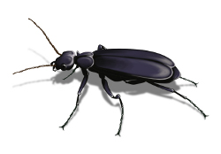 blister beetle picture