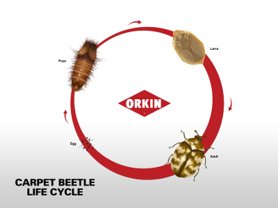 Life Cycle Of Carpet Beetle Phases Amp Reproduction Of