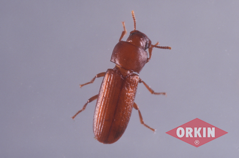 Red flour beetle control get rid of flour bugs for Tiny reddish brown bugs in bathroom