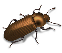 foreign grain beetle 200x171