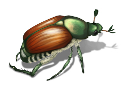 picture of Japanese beetle
