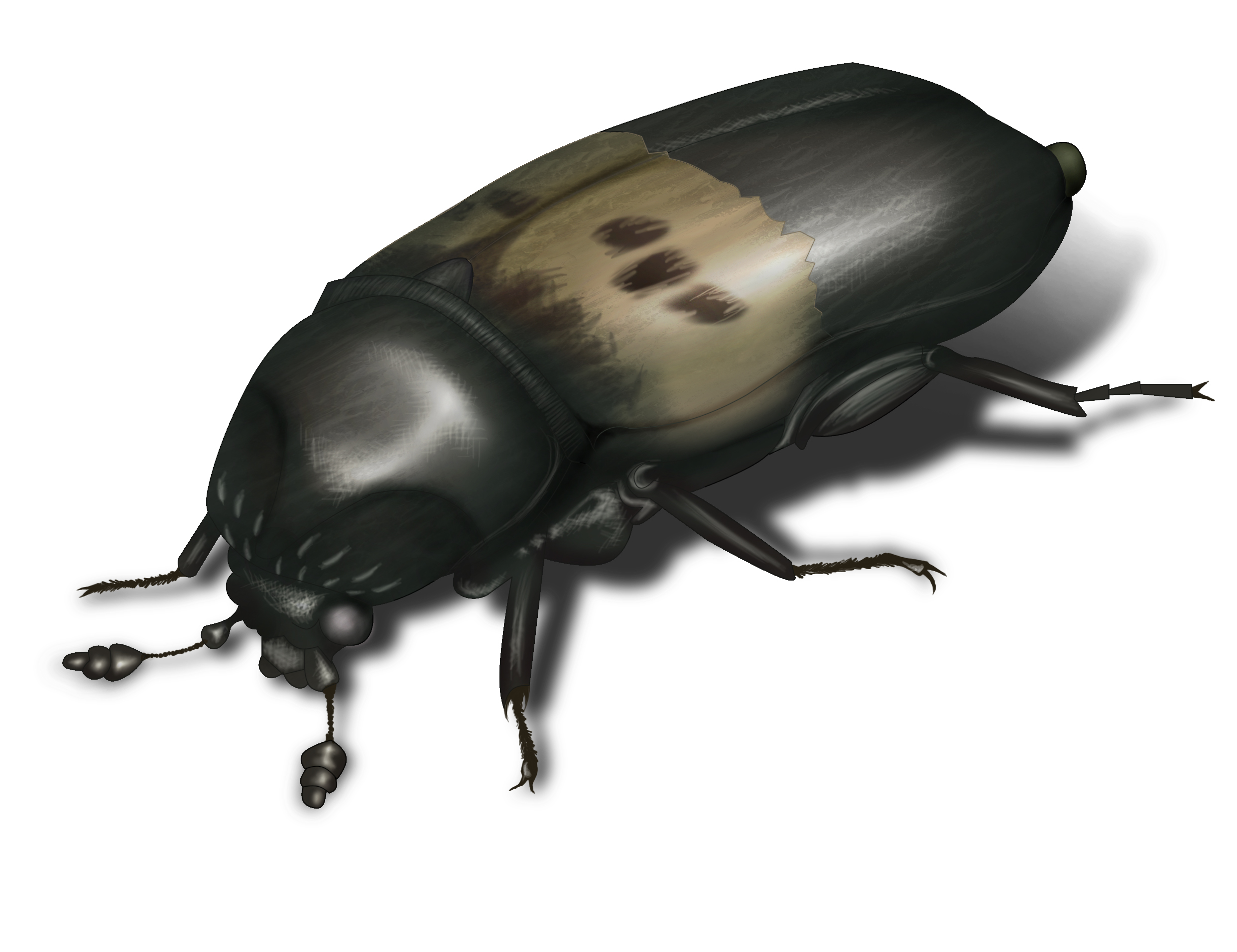 Larder Beetle Illustration. Pictures of Beetles  Beetle Images and Photo Gallery