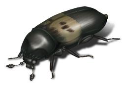 larder beetle 250x192