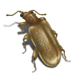 plaster beetle 250x270