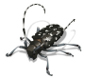 asian long horned beetle 720x663