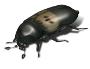 larder beetle 2484x1912