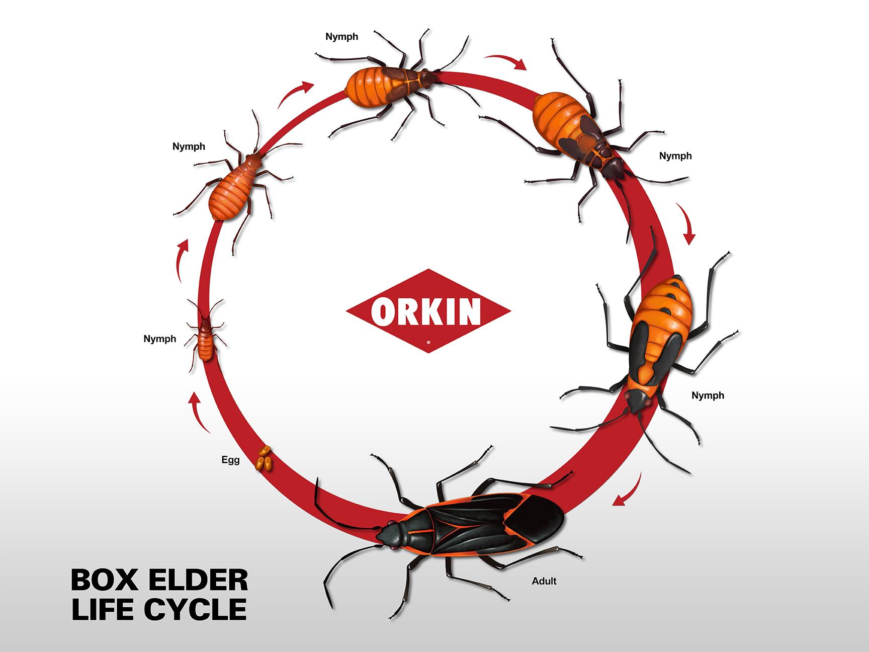 Box Elder Bugs Life Cycle Box Elder Bug Life Span