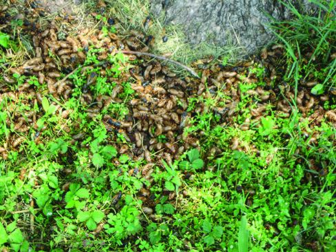 cicada killer image