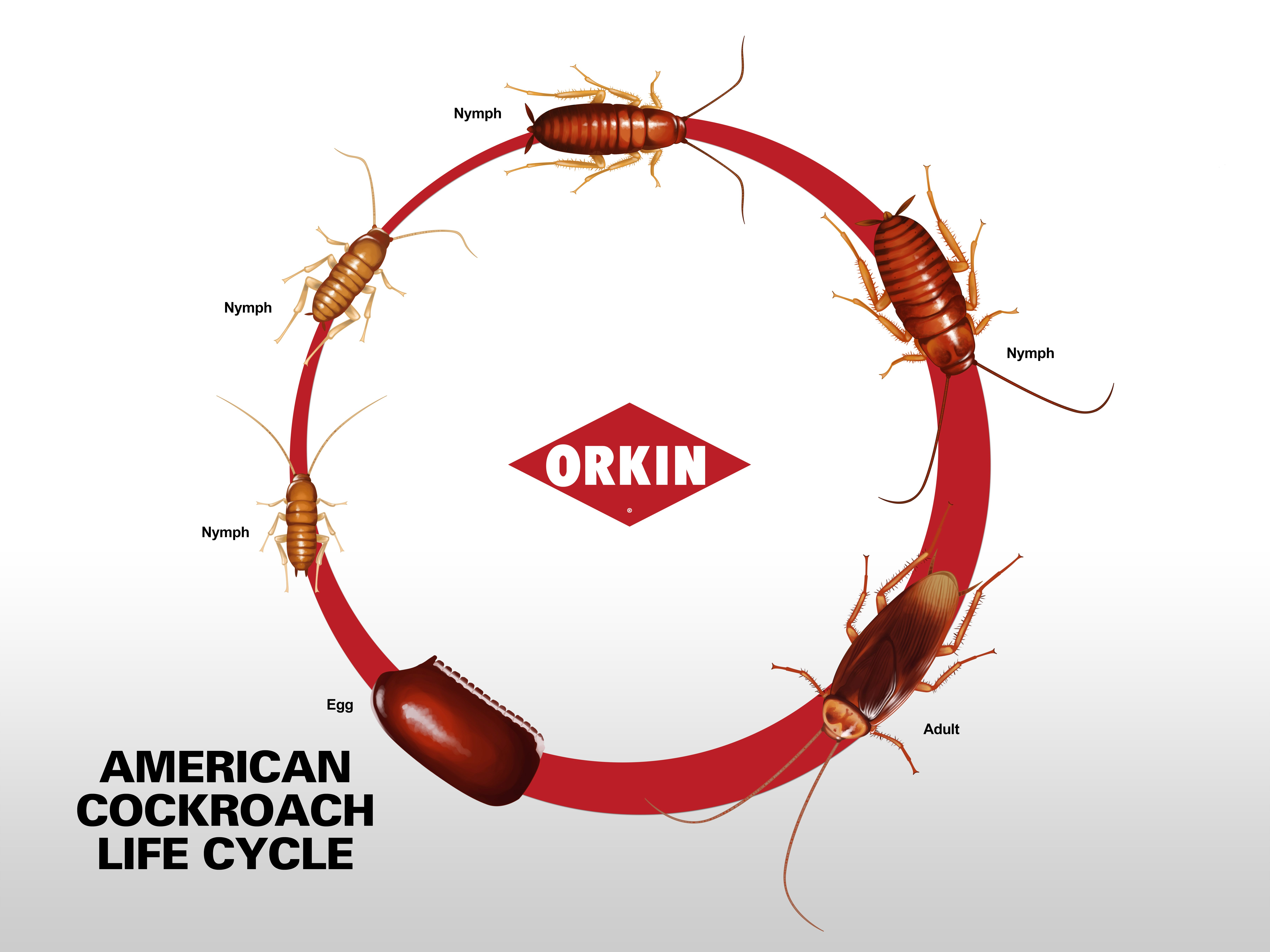 American Cockroach Life Cycle Stages Phases Of American Roach