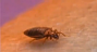 bed bug basics