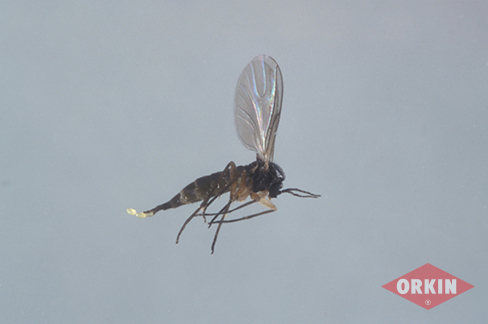 Image of fungus gnat flying through air