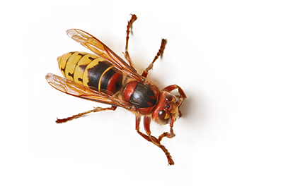 Picture of Giant Hornet
