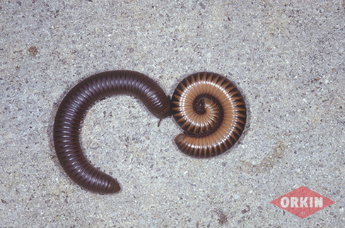 picture of a millipede