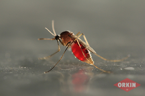 side image of mosquito