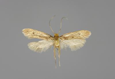 get rid of casemaking clothes moths control treatment. Black Bedroom Furniture Sets. Home Design Ideas