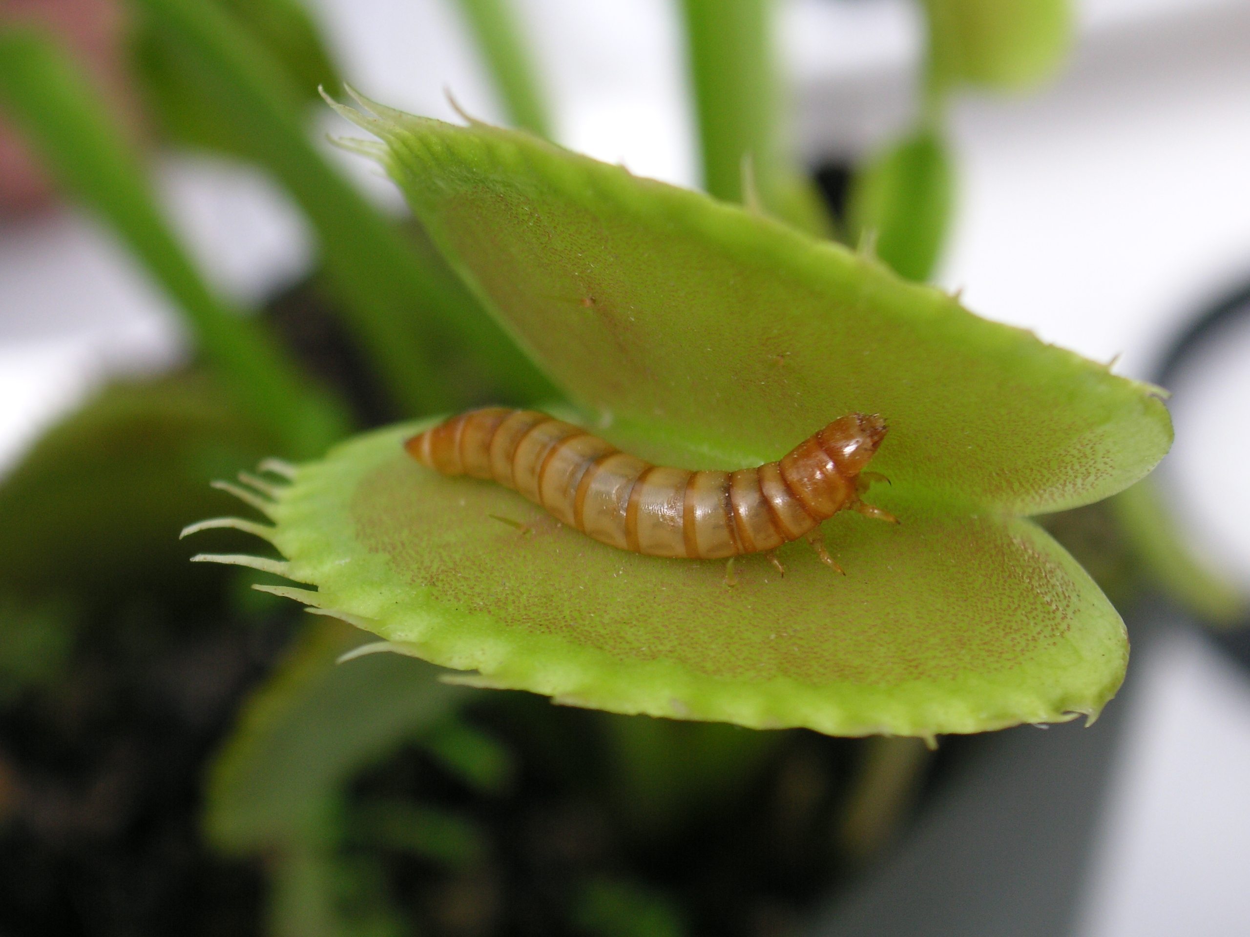 picture of a mealworm