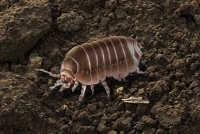 Pest Control for Pillbugs/Sowbugs