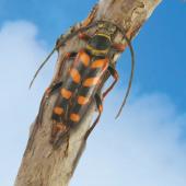 Longhorned Beetle image