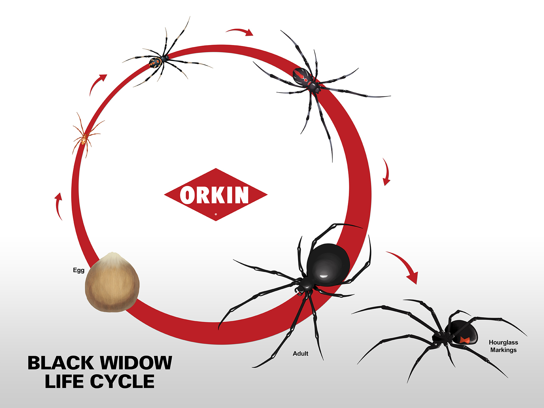 Black Widow Life Cycle Reproduction - Black widow spider us map