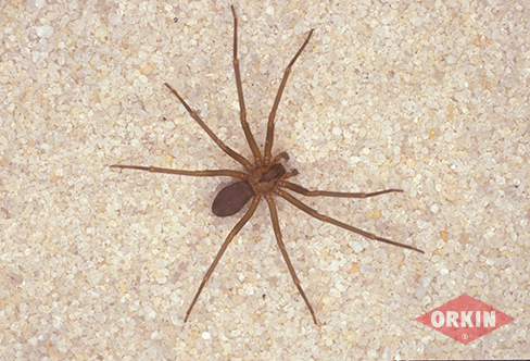 How To Control Remove Brown Recluse Spiders Orkin