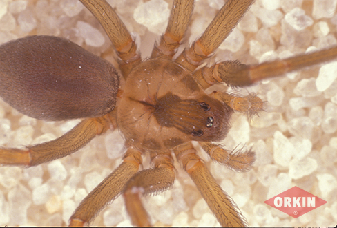 Protect yourself from Brown Recluse Spiders
