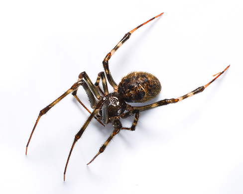 Images of different house spiders