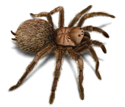 Tarantula illustration