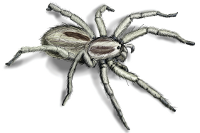 Wolf Spider Illustration