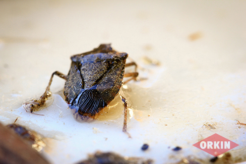 Where Do Stink Bugs Live? Habitat Locations & More