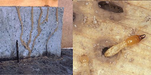 termite-2-l