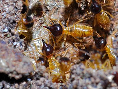 Conehead Termite