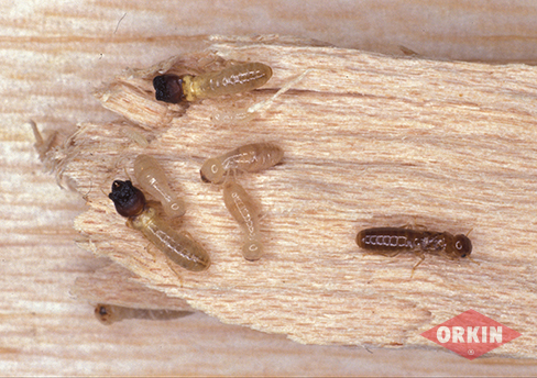 drywood termite illustration