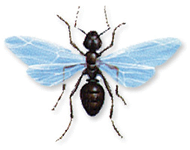 Flying Ant. The Difference between Termites and Winged Ants