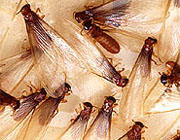 Formosan termite swarmers (alates)
