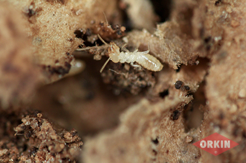 subterranean termite without wings