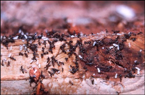 Ants Eating Termite Larvae