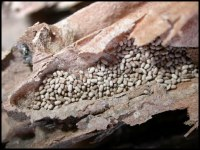 image of drywood termite droppings