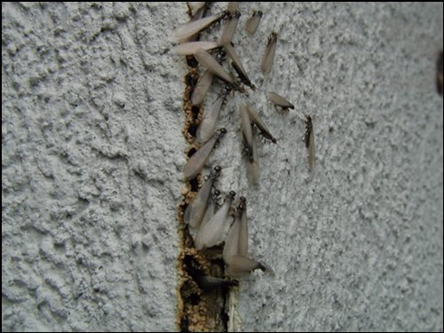 image of termites in crack in wall