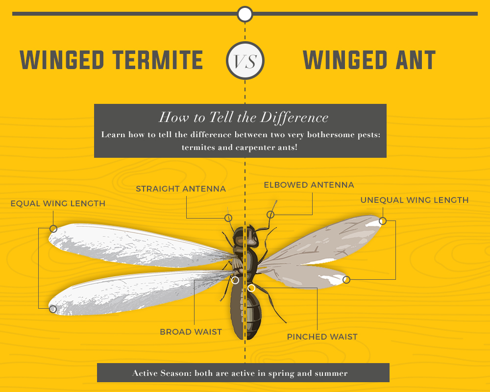 Flying Ants Vs Termites Termite Or Ant