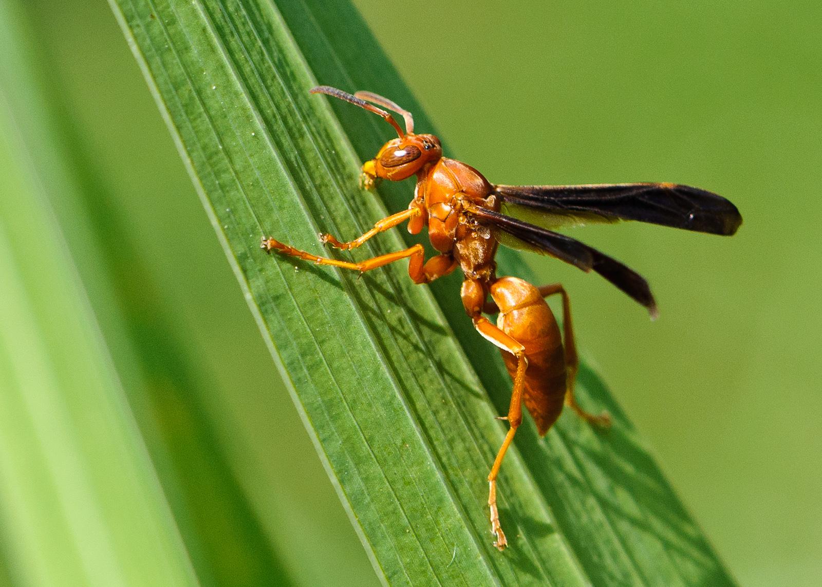Types of black wasps - photo#14
