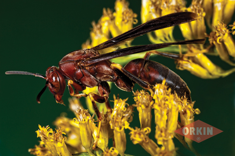paper wasp close up