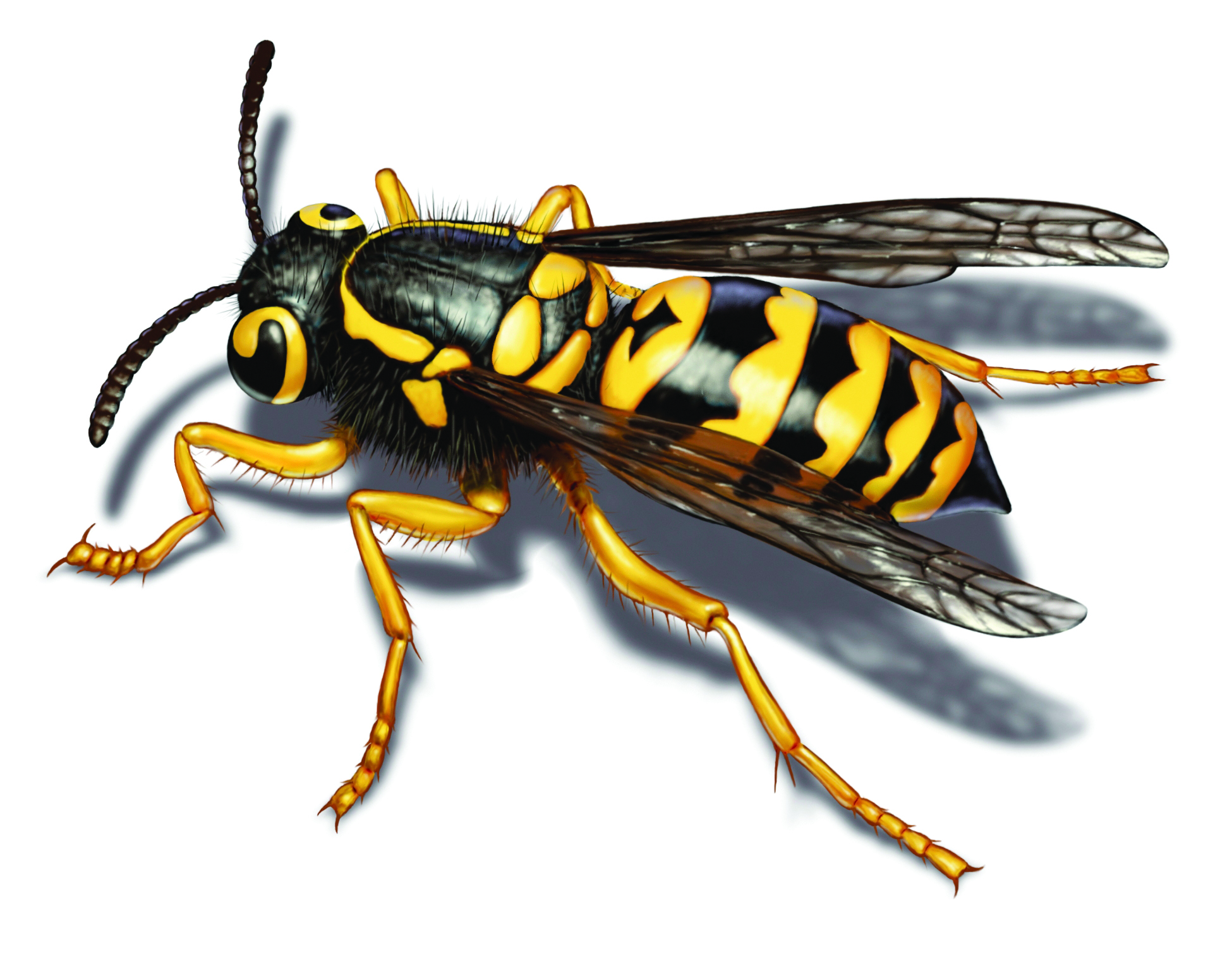 Small yellow jackets in the ground - Yellow Jacket Illustration